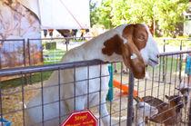 Cute Goat 1 von lanjee chee