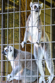 Ring-tailed lemur by lanjee chee