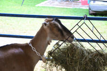 Young goat eating dry straw von lanjee chee