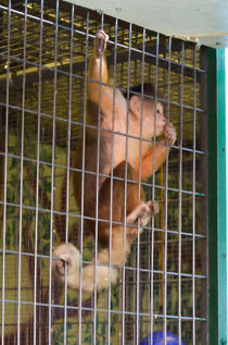 Monkey-in-cage