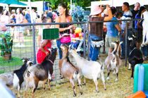 Goats at county fair by lanjee chee