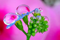 color: pink, green, blue and a drop on a flower by Yuri Hope