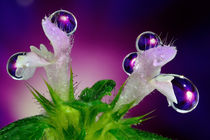 Purple drops on the flower by Yuri Hope