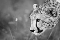 Cheetha on the prowl. Black and White von Yolande  van Niekerk