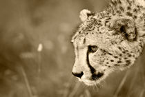 Cheetah on the prowl. Sepia von Yolande  van Niekerk