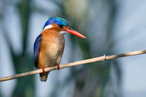 Malachite Kingfisher, O sho colourful! von Yolande  van Niekerk