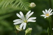 Die weiße Blüte der Sternmiere im Wald von Ronald Nickel
