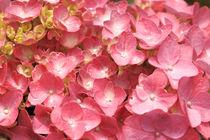 Pink hydrangea closeup von Gaspar Avila