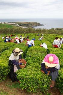 Porto Formoso tea gardens von Gaspar Avila