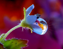 A large drop of rain on a blue flower von Yuri Hope