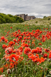 Poppies von David Pringle