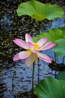 Lotus In The Pond 3 by lanjee chee