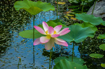 Lotus In The Pond 4 von lanjee chee