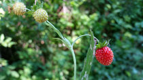 Strawberries-in-june-1-i