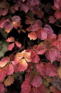 Autummn Leaves  by Elizabetha Fox