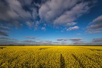 Rapsblau von nordfriesland-und-meer-fotografie