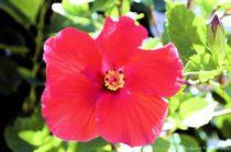 Hibiscus von Dan Richards