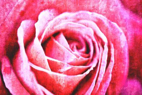Rose-2015-06-002e