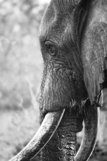 Bull Elephant portrait in black and white by Yolande  van Niekerk