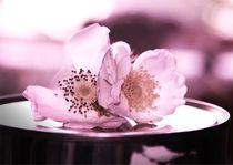 Rosa-rose-sabinebrust