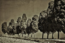 Cypresses  by Peter Bergmann