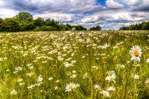 The Summer Daisy Field von David Pyatt