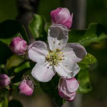Apfelblüte by Ralf Warnecke