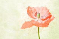 lovley poppy by Stephanie  Langowski