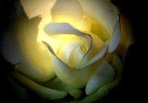 leuchtende rose von hedy beith