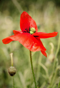 Poppy-norm