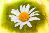 The Daisy Art by David Pyatt