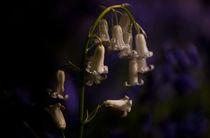 bluebell II von lilithdavinci