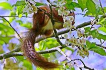 Eichhörnchen 2 by toeffelshop