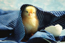 Kleines Küken unter der blauen Decke von Tanja Riedel