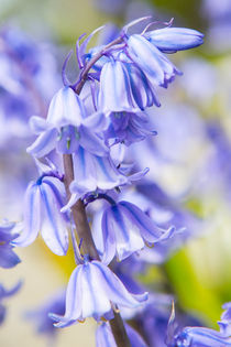 Bluebells by David Hare