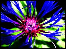 Blue Beautiful Cornflower  by Sandra  Vollmann