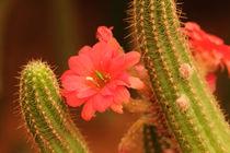 Cactus Flower von Debasis Patnaik