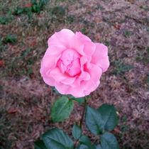 a single rose    by feiermar