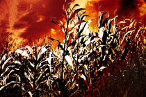 Fire in the corn field von Gaspar Avila