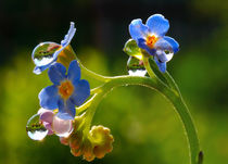 Flowers forget-me-not and raindrops by Yuri Hope