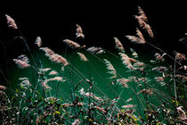 Sedge Grasses in Provence von Elizabetha Fox