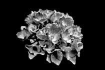 Hortensienblüte schwarzweiss von leddermann