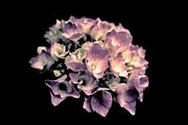 Blüte der Hortensie von leddermann