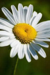 Wild Daisy by Bryan Heaps