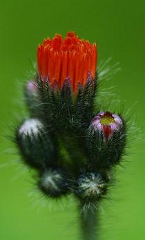 Orange Flower by Bryan Heaps