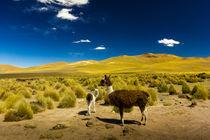 Lamas in Bolivien von Arne Tiedemann