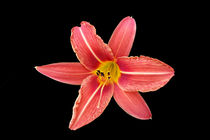 a lily in the dark by feiermar