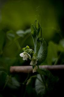 Die Erbse von lilithdavinci