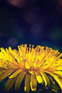 Dandelion Glow von Vicki Field