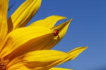 Marienkäfer auf Sonnenblume by Heidi Bücker